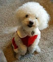 poodles long hair in winter maltipoo haircuts petmaltipoo
