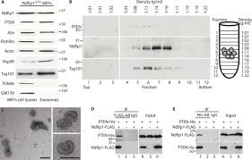 the tumor suppressor pten is exported in exosomes and has