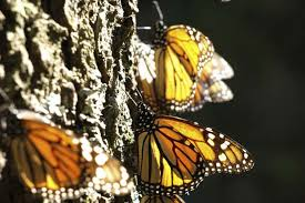 how do monarch butterflies migrate so far hint it s in their
