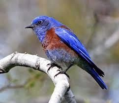 Nc Backyard Birds Eastern Bluebird Identification All About Birds Cornell Lab Of