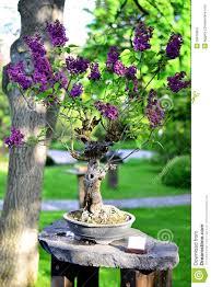 bonsai tree lilac stock photo image 39670904