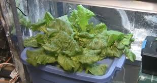 growing lettuce under grow lights tomorrow u0027s garden