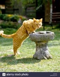 a young short haired country cat investigates the bird bath uk eu