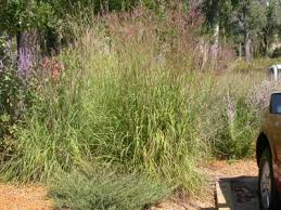 learn about growing big bluestem grass