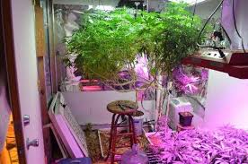 busted man arrested after elaborate marijuana grow operation