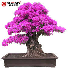 discount bonsai trees sale 2017 sale bonsai trees on sale at