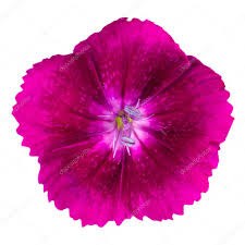 cute purple dianthus carnation flower isolated u2014 stock photo