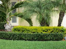 hedging plants budget wholesale nursery best 25 podocarpus hedge ideas on pinterest hedges hedges