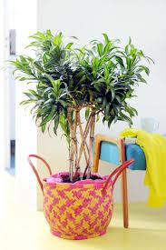 the most poisonous plants in australia hipages com au 85 best folhas dracena images on pinterest indoor plants