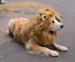 Lion Halloween Costumes Dogs Lion Dog Costume Dog Dog Halloween Animal