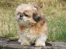 pictures of shih tzu haircuts adorable shih tzu hair styles