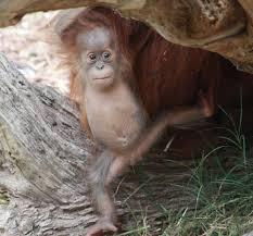 el paso zoo baby orangutan turns one photos