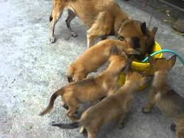 belgian shepherd 4 months pure breed belgian malinois puppies for sale or swap youtube