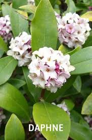 Most Fragrant Jasmine Plant - jasmine is the most fragrant flower and the shrub is a real