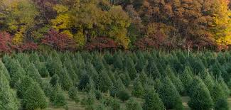 christmas christmas tree farms near me st nicks store trees