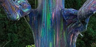 eucalyptus deglupta 87kmh