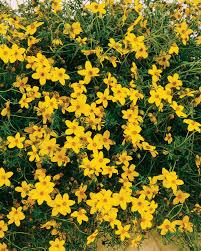 Heat Resistant Plants Peter U0027s Gold Carpet Bidens Ferulifolia Proven Winners