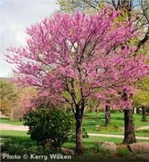 Small Trees For Backyard by Best 25 Eastern Redbud Tree Ideas On Pinterest Eastern Redbud