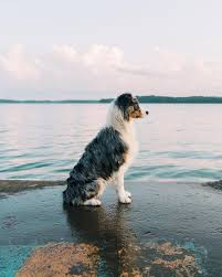 australian shepherd water i think i have a new favorite photo of my pup kodiak aww