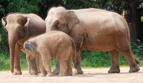 elephant family elephant facts and information