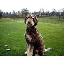 australian shepherd german shepherd mix for sale australian shepherd poodle mix for sale photo happy dog heaven