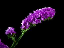 statice flowers statice flowers statice flower annual statice flowers
