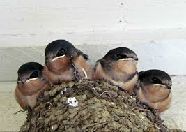 Barn Swallow Nest Pictures Hinterland Who U0027s Who Barn Swallow