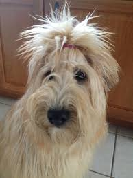wheaten haircuts 252 best wheatens images on pinterest wheaten terrier doggies and