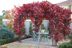 ornamental grape vine vitis vinifera 150mm grevillea nursery