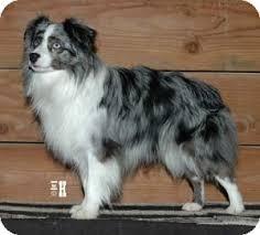 australian shepherd toy size taylor toy aussie adopted dog calabassas ca australian