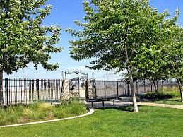 california sycamore backyard trees backyard trees