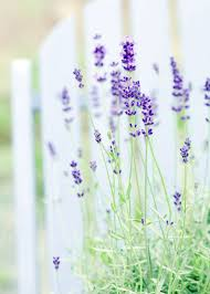 Most Fragrant Lavender Plant - lavender plant love u0026amp obsession grow herb companion
