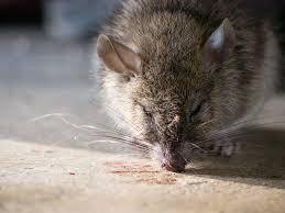 homemade mouse poison baking soda how to make it in 3 steps nov