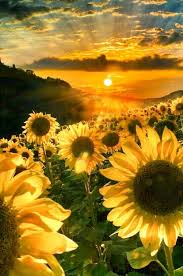 sunflower pictures alluring sunflowers via bruno bolognese gardening