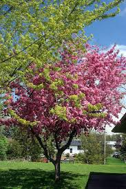 here is a list of the 10 best trees for your small yard yards