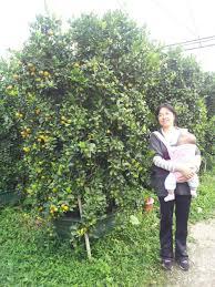 cinnabar orange bonsai tangerine bonsai live trees indoor