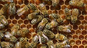 bees swarm kill dog in florida backyard u0027they were relentless