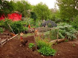 Keeping Free Range Chickens In Your Backyard How Free Range Chickens Benefit Your Soil Hobby Farms