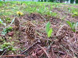 a slice of earthly delight backyard morel mushrooms