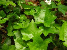 english ivy plants for sale wholesale online helix hedra