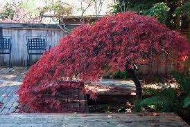 japanese maples www coolgarden me