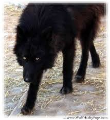 belgian shepherd wolf mix 45 best our favorite pics images on pinterest wolves puppies