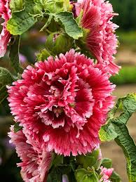 hollyhock flowers hollyhock time bluestone perennials