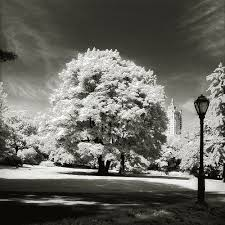 Classic Tree Central Park Tree Classic Photography By Ralf Uicker Central