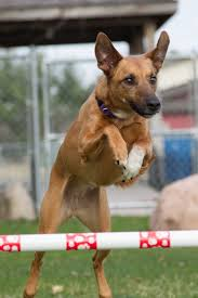 afghan hound agility from terrier to agility star american kennel club