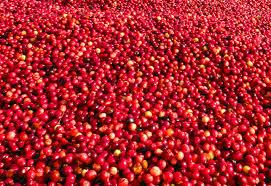 joe u0027s retirement blog a cranberry harvest plymouth