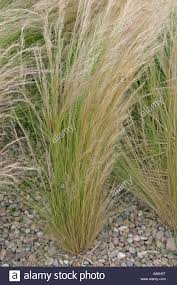 ornamental grass stipa tenuissima growing through gravel stock