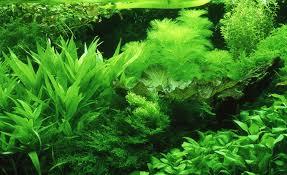 Aquascape Aquarium Plants Aquarium Planting Styles Aquascape Aquarium Freshwater