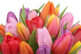 tulips flowers tulip flower meaning flower meaning