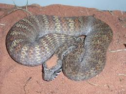 safe snake removal in sydney and surrounding suburbs